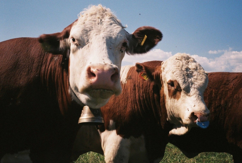photo by Edurne Morillo showing cows